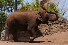 Elephant spraying himself with dirt (Ginny Winblad) Tags: syndey tarongazoo elephant