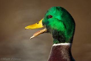 Mallard Drake Portrait