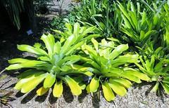 Aechmea mexicana --  a bromeliad 5038 (Tangled Bank) Tags: heathcote botanical gardens martin county florida plant flora botany botanic bromeliad bromeliaceae aechmea mexicana 5038