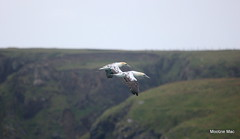 Syncronised flying (mootzie) Tags: naturewildlifewings syncronised flyby birds gannets wildlife young ness lewis scotland