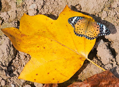 Indian Fritillary 2 (mishko2007) Tags: korea argyreushyperbius indianfritillary 105mmf28