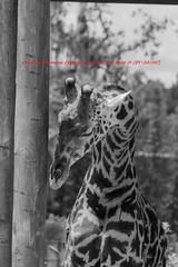 Tampa Zoo (107) 20160813 (gaijinnokoi) Tags: kimler lowry zoo duck tiger elephant giraffe orangatan tampa florida bird nikon d7100 blackandwhite bw