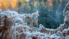 frosty ferns (grahamrobb888) Tags: nikon nikond800 nikkor50mmf18 nikkor birnamwood forest frost cold perthshire scotland bokeh