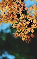Kenroku-en Maple (jpellgen) Tags: japan japanese nihon nippon  ishikawa kanazawa kenrokuen garden zen     asia nikon 2016 fall autumn sigma 1770mm d7000 leaves leaf momiji koyo maple november travel honshu park nature scenery