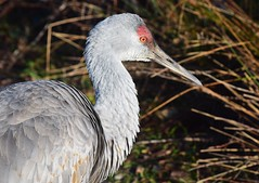 Sandhill Crane (careth@2012) Tags: sandhillcrane bird nature wildlife