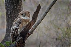 Brown Fish Owl (Ketupa zeylonensis) (vladimirmorozov) Tags: brownfishowl ketupazeylonensis ranthamborenationalpark india