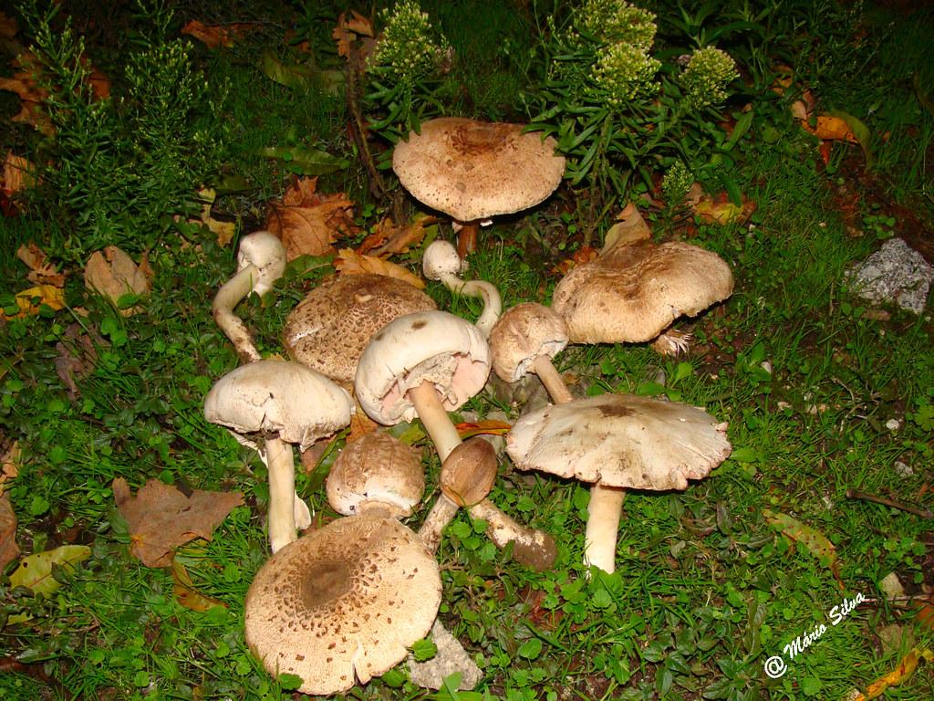 Águas Frias (Chaves) - ... cogumelos (penso que todos comestíveis) ...