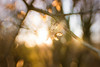 Sweet 35 Sycamore (Humphrey Hippo) Tags: 365 composerpro lenstagger lensbaby sony sonya6300 sonyα6300 sweet35 sweet35optic zhongyilensturboii a6300 flora project365 sycamore α6300 explore explored