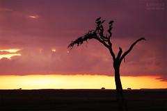 Sunset in the Masai Mara (Raphaëlle Gagnon-Durand) Tags: kenya africa afrique african africain arbre tree bird birds oiseau oiseaux soleil sunset sunshine coucher crépuscule dusk gloaming orange purple yellow pink sky branch branches savane savannah masai mara national park clouds nuages landscape paysage nature wildlife safari travel voyage