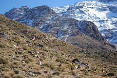 Mountain goats (NaomiQYTL) Tags: trekking landscape highatlas trekatlas atlasmountains mountaingoats goats morocco holiday travel