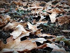 2016-12-04 oak leaves(9) (april-mo) Tags: oak leaves deadleaves oakleaves wood autumn