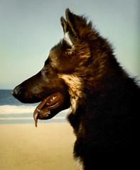 Sasha_beach_profile (jormit1) Tags: sasha animals dogs beach