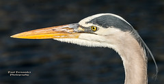 Great Blue Heron Portrait at the Anhinga Trail, Everglades National Park (D200-PAUL) Tags: greatblueheron herongreatblue greatblue heron royalpalm anhingatrail evergladesnationalpark everglades nationalpark southernflorida southflorida florida paulfernandez