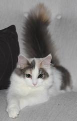 Heyni (andymiccone) Tags: cat katze katt kissa feline tabby chat gato white angora animal beautiful cute pet domestic heyni kitten heini