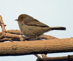 Verdin (carpingdiem) Tags: palmsprings birds