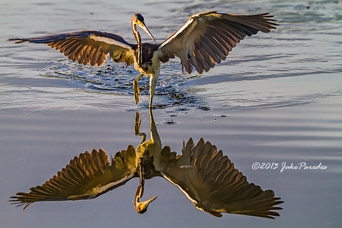 Reflection of a foraging Tri-colored Heron
