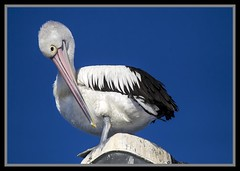 Clontarf Pelican on light pole-2= (Sheba_Also) Tags: light pelican pole clontarf
