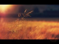 quiet nightfall / csendes alkony (heizer.ildi) Tags: light sunset summer flower nature field grass night bestcapturesaoi mygearandme me2youphotographylevel1