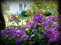 DOWNEAST MAINE..... (jwakanmorgans) Tags: doeneast maine neighbors yards flowers trees blossoms house home purple window buds leaves branches yellow bushes lilies