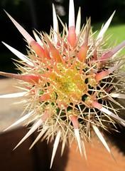 Machaerocereus eruca (succulentista) Tags: stenocereus