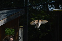 Mountsberg rator center (jacksplatt79) Tags: barn turkey center raptor owl vulture mountsberg