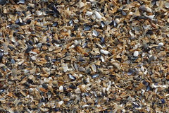 shell shards (wortenoggle) Tags: beach point small maine shell shard