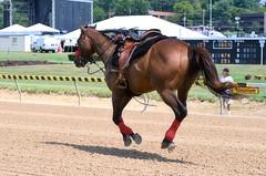 2013-09-01 (21) r1 loose horse - lead pony (JLeeFleenor) Tags: photos photography timonium statefair mdstatefair md marylandracing marylandhorseracing horses thoroughbreds equine equestrian cheval cavalo cavallo cavall caballo pferd paard perd hevonen hest hestur cal kon konj beygir capall ceffyl cuddy yarraman faras alogo soos kuda uma pfeerd koin    hst     ko  loosehorse ponypeople leadrider frisky 6 maryland