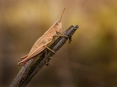 Groe Goldschrecke (Chrysochraon dispar), Kornetsheck bei Maldingen, Ostbelgien (Frank.Vassen) Tags: orthoptera gf1 natura2000 ostbelgien braunlauf natagora maldingen goldschrecke chrysochraondispar chrysochraon grosegoldschrecke kornetsheck be33063c0