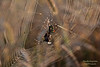 Breakfast (Hrafn Photography) Tags: sunrise nikon spiders spinne sonnenaufgang spindel argiope spindelväv edderkop bruennichi hämähäkki aranea spinngewebe kónguló d7100