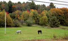Horses in Fall (pegase1972) Tags: autumn horses horse canada fall automne cheval quebec foliage qubec qc estrie easterntownships