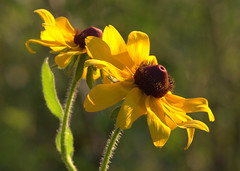 Yellow (tumultuouswoman) Tags: flowers light summer orange sun black green eye nature leaves yellow petals glow susan late glowing eyed existing