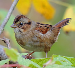 Copper Colors (Bonnie Ott) Tags: swampsparrow howardcountyconservancy mtpleasant maryland howardcounty howardcountymaryland mountpleasant mountpleasantfarm melospizageorgiana sparrow bird melospiza bonniecoatesott