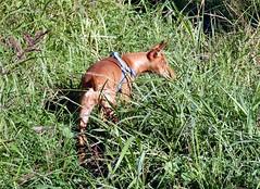 Rosalia,Cirneco dell'Etna,alla scoperta della terra dei suoi avi (Luigi Strano) Tags: italy dog chien pets dogs animals cane puppies europa europe italia hond perro hund sicily taormina animali sicilia messina cani  smrgsbord rosalia sicile sizilien cuccioli    cirnecodelletna   sicilianhound siciliangreyhound c