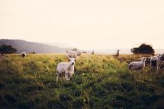 Only the winds II (Maegondo) Tags: sunset portrait people sun nature windmill backlight 35mm canon germany deutschland eos sheep wind stuttgart 14 walimex samyang 5dmark2
