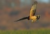 Northern Harrier (snooker2009) Tags: winter bird fall nature birds animal sunrise outdoors wildlife small flight raptor getty migration northern harrier d800 thewonderfulworldofbirds photocontesttnc12 dailynaturetnc12 photoofthedaynwf12 dailynaturetnc13
