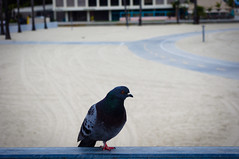 Just Sitting There (bintAdam) Tags: california fence pigeon longbeach railing belmontshore
