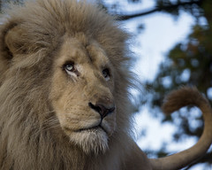 An unforgettable encounter with a white lion