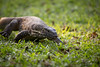 Monitor Walk (mjenner10) Tags: africa animal southafrica spring reptile leguaan monitor lizard krugernationalpark kruger watermonitor nilemonitor ngwenya 2013 specanimal varanusniloticus