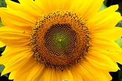Nature (Philipp Seibt) Tags: blue sun flower color green nature beautiful yellow photo nice foto natur pflanze gelb gras blume farbe prett sonnenblume photonatur