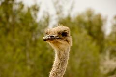 ostrich (Eugene M.Morozov) Tags: animal canon eos tunisia ostrich explore avestruz autruche 600d struzzo