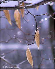Holding On (dorothylee) Tags: blue winter snow cold color colour ice nature leaves landscape shiny pennsylvania sparkle poconos snowing northeast sparkling holdingon