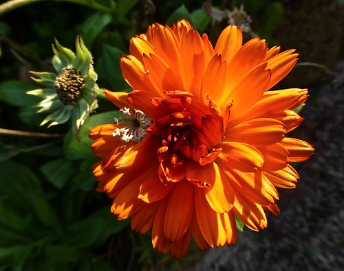 He is still blooming. Marigold in the garden of the neighbors.