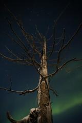 Aurora Borealis (qitsuk) Tags: winter tree norway norwegen arctic scandinavia northernlights auroraborealis finnmark polarlights karasjok