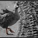 Pink-footed Goose (Anser brachyrhynchus), Martin Mere  - colour popped