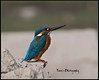 Common Kingfisher (tareq uddin ahmed) Tags: canon usm ahmed chittagong uddin commonkingfisher tareq birdsofbangladesh