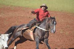 17º Rodeio Estadual de Caibaté (Venicius Follmann de Oliveira) Tags: riograndedosul gaucho rodeio cavalocrioulo tirodelaço caibaté nikond7000 veniciusfollmanndeoliveira vacagorda rondinhanews rodeiocaibaté