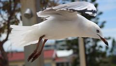 the gull (16) (bertknot) Tags: seagulls seagull gull gulls mwe gaviota meeuw meeuwen gabbiano gaivota goland ms lokki zeemeeuw mge zeemeeuwen mewa sirly dalg   diemwe mouettedupegolandgolandbeccerclgolandargentgolandcendrgolandmarinmouetterieuse zeemeeuwenmeeuw