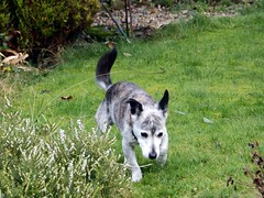 16th Jan Susie in garden (Cardedfolderol) Tags: pets dogs animals canine mammals whippetcross