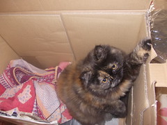 gatta in scatola (en-ri) Tags: torino nikon miao scatola cleopatra gatta afsaneh