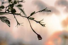 Mi jazmin en invierno  -  EXPLORE  January 20th, 2014 (Micheo) Tags: winter macro garden drops bokeh jasmine best explore invierno ok gots lazmín